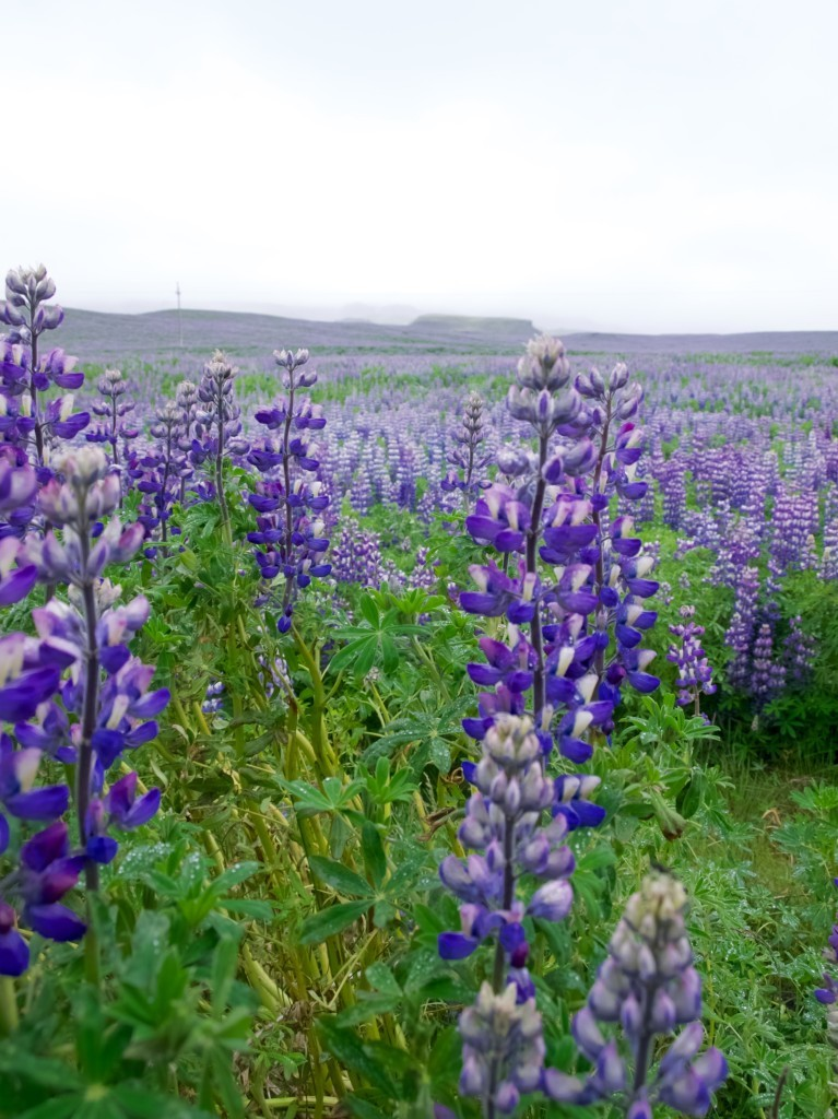 Lupin field in Iceland