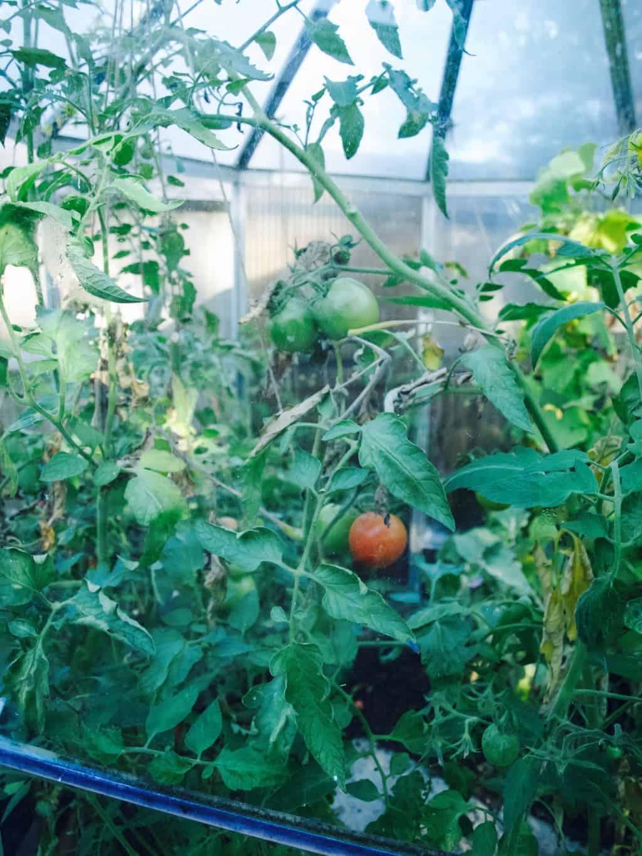 Green tomato ketchup recipe